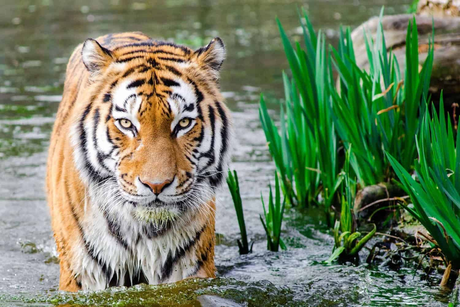 Tiger in pond staring at camera.